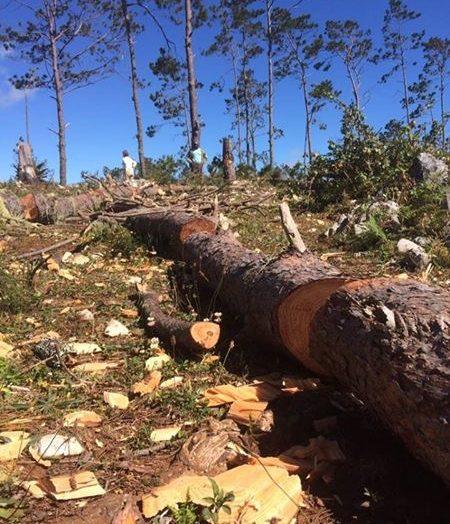 Haïti-Environnement: la Forêt des Pins en voie de disparition