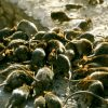 La NATCOM dément être responsable d'invasion de rat dans l'Artibonite