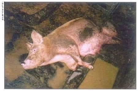 Peste porcine en République Dominicaine, Haïti menacée