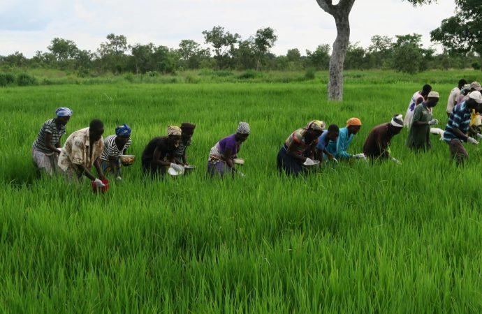 Covid-19 : plus de 17 000 agriculteurs haïtiens recevront une subvention de la Banque mondiale